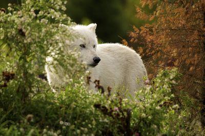 Wolfy wolf!