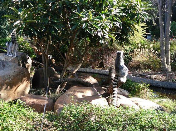 Lemur. Ft Worth Tx