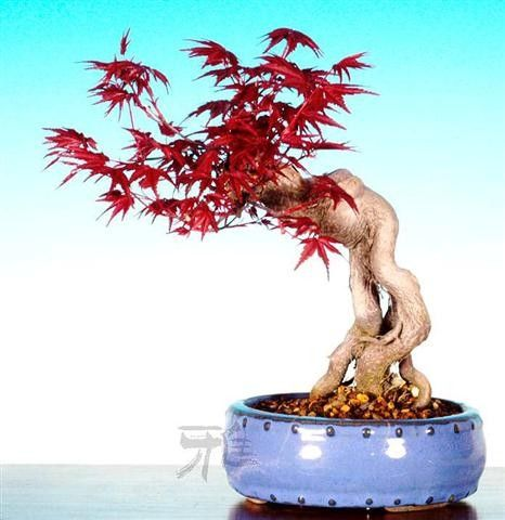 ...Vietnamese Bonsai...