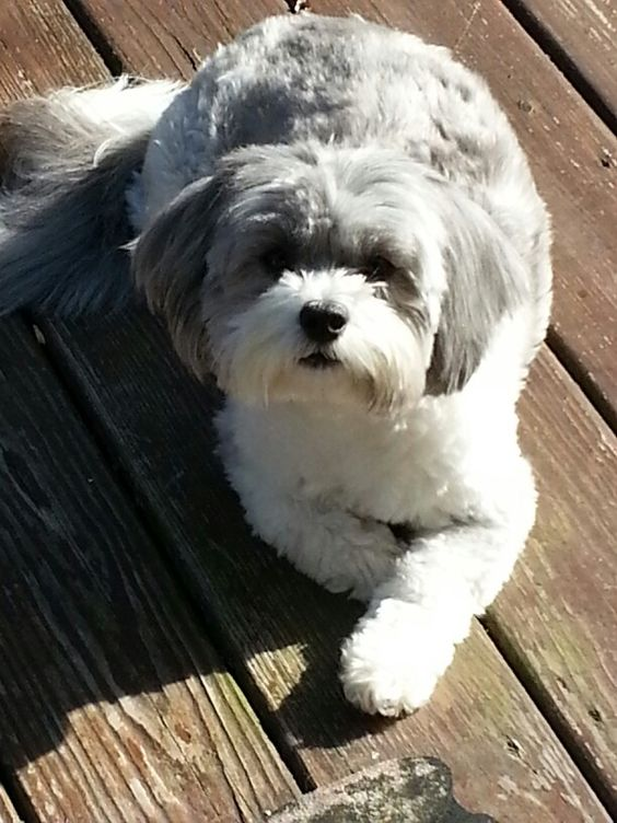 shih poo  hair cut and dogs on pinterest