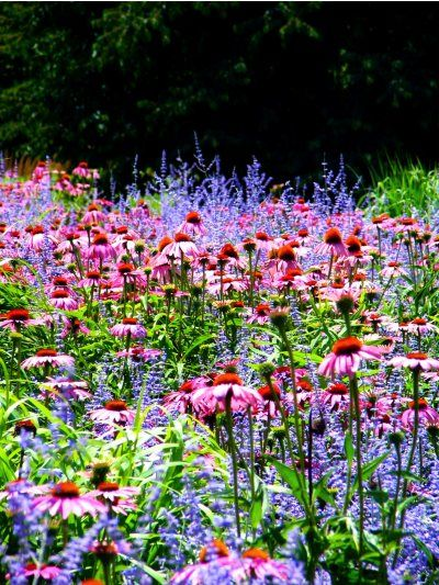 coneflowers & russian sage.  Love this combo!