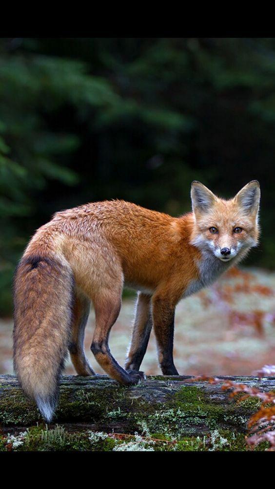 Red Fox Tiere Tierplakate Und Fuchs