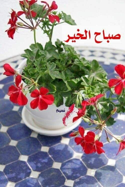 وفي الصباحات نحتضن الود والتسامح ويشرق الأمل ويتجدد اللقاء بين أهل الطيب والنقاء صباح مشرق ببهجته تملئ قلوبك Geraniums Red Geraniums Beautiful Flowers