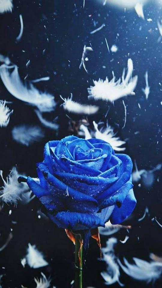 Blue Phone Backgrounds Blue Roses Wallpaper Wallpaper Nature Flowers Flower Background Wallpaper Blue wallpaper galaxy rose