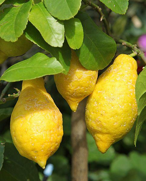 Citronnier Sur Le Meme Sujet Citrus Fruit Fruit Plants