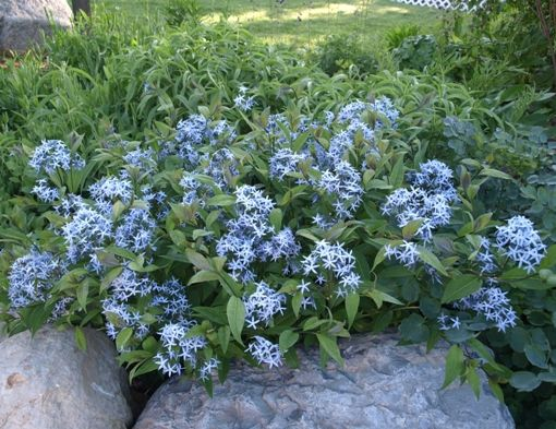 amsonia tabernaemontana blue stars perennial drought