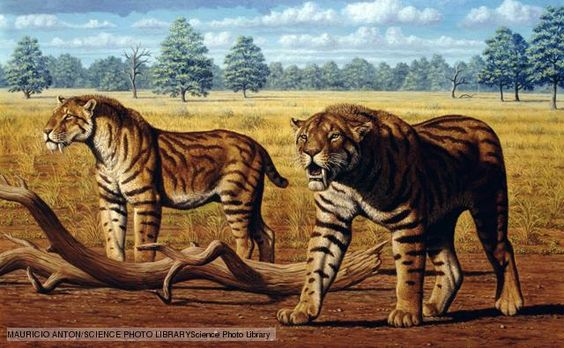 The sabre-tooth tiger, known as smilodon, was one of the few sabre-toothed cats that would have encountered humans. Whilst sabre-tooths in Africa and Europe became extinct before our species had evolved, Smilodon survived until the end of the ice age. Three species lived in the Americas over time. The ancestors of the Native Americans might have met two of these, Smilodon fatalis and Smilodon populator. The latter was a heavily built animal, weighing more than a Siberian tiger.