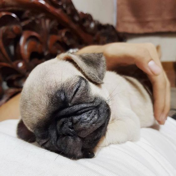 Is Snoring A Bad Sign In Dogs Cute Pugs Dogs Grumpy Cat Quotes