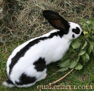 Checkered Giant Rabbits...my grandpa used to raise them and show them.  They are REALLY cool looking.