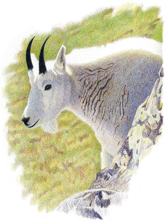 Rocky Mountain Goat - Colored Pencil Drawing