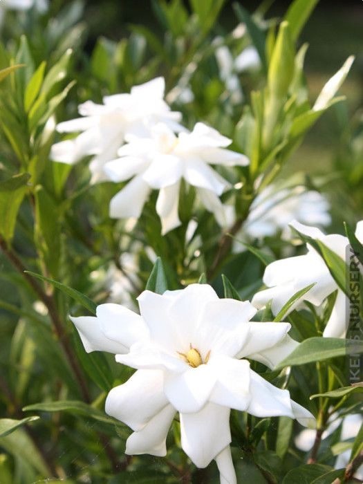 Cold Hardy Gardenia Frost Proof Plants Flower Landscape