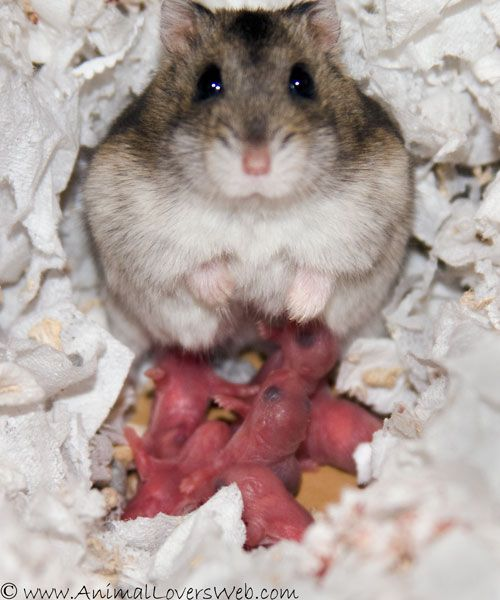 photos of the day-by-day development of baby hamsters