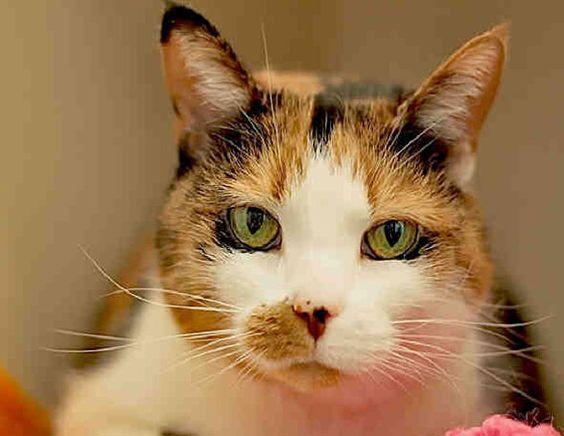 Tabitha-an-adoptable-cat-in-Pennsylvania
