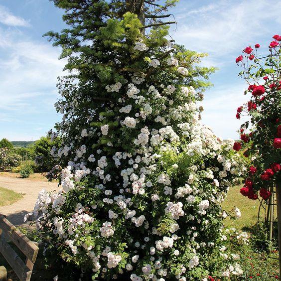 Ramblerrose 'Paul´s Himalayan Musk' ® online kaufen & bestellen