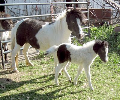Toad Hill Miniature Horses: _ForSale mini horse hight chart