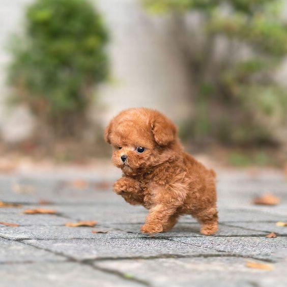 Giá Chó Poodle