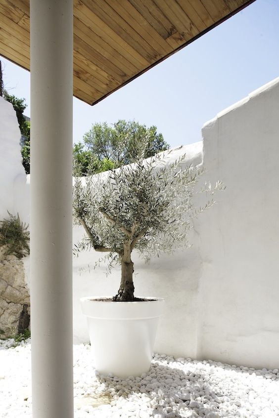 White White White Olive In A Pot
