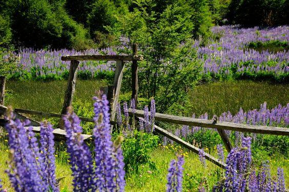 Flores de la Patagonia, Aysén Chile