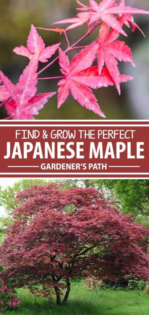 Find Grow The Perfect Japanese Maple For Your Lawn Maple Tree Landscape Japanese Garden Japanese Maple Tree Care