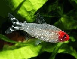 Rummy Nose Google Search Aquarium Fish Tropical Freshwater Fish Freshwater Aquarium