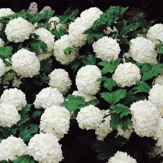 Viburnum opulus Sterile Snowball Shrub - fast growing and lovely scent