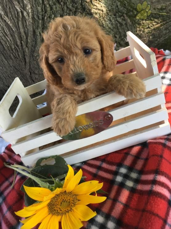 Zoey Miniature Poodles Puppy For Sale In Belleville Pa