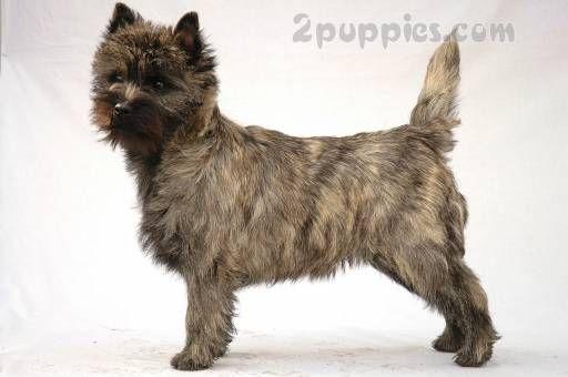 Cairn Terrier Toy Dog Breeds Dog Breeds Terrier Breeds