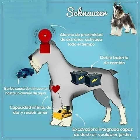 Pin By Diana Perez On Schnauzer Schnauzer Puppy Schnauzer Dogs