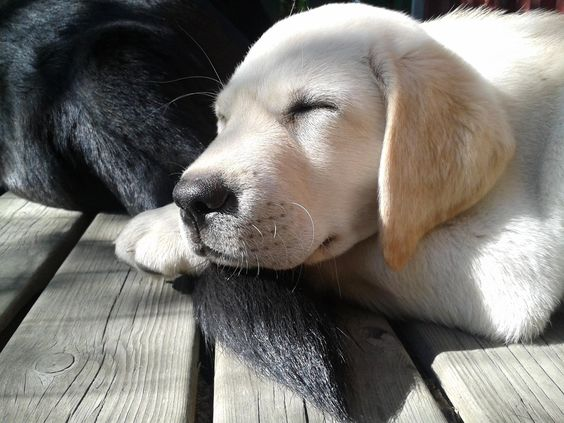 yellow lab puppy sleeping - photo #10