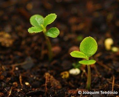 Laurissilva Sustentável: Recolha de Sementes de Tamujo