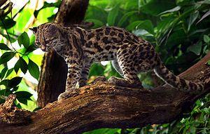 Gato Maracajá