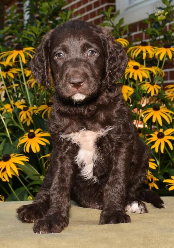 Sam Labradoodle Puppy For Sale In Millersburg Oh Lancaster Puppies Labradoodle Puppy Lancaster Puppies Puppies