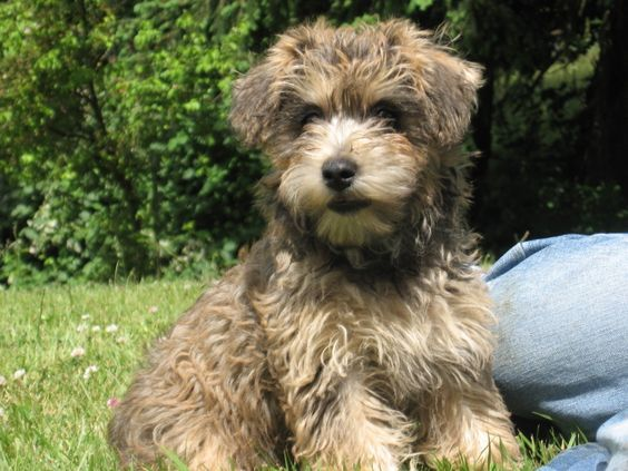 Cairnoodle Cairn Terrier Miniature Poodle Mix Info Pictures Facts Miniature Poodle Mix Hypoallergenic Dog Breed Cairn Terrier