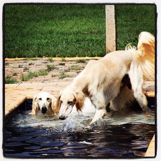 Noiva and Meu bem at the pool.   #Saluki #Salatino #Dogs #dog #perro #cao #cachorro #animals #animales #animais #cute #love #baby
