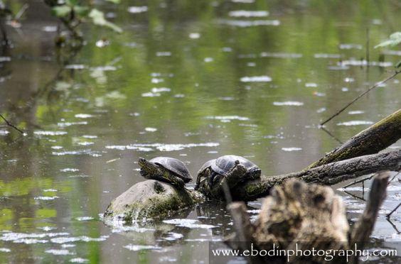 Cistude d'Europe (Emys Orbicularis) - C'est une tortue d'eau douce que l'on trouve dans les petites rivières calmes, petits étangs, mares entourés de végétation dense. - © 2013