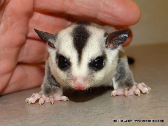 informative speech sugar gliders You can also check out some sugar glider home movies and information about this lovely little animal it is a very informative study on sugar gliders and other animals of australia they are a proud sponsor of the melbourne wildlife sanctuary.