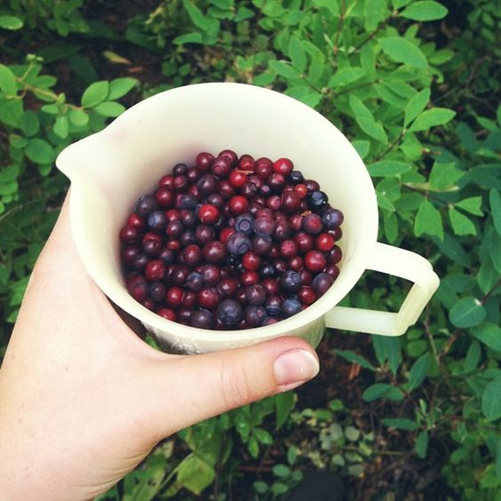 Wild huckleberry picking. #mccall #idaho by Completely Delicious, via Flickr: