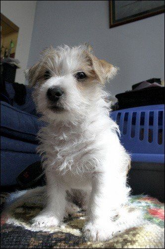 Long haired jack Russell puppy: