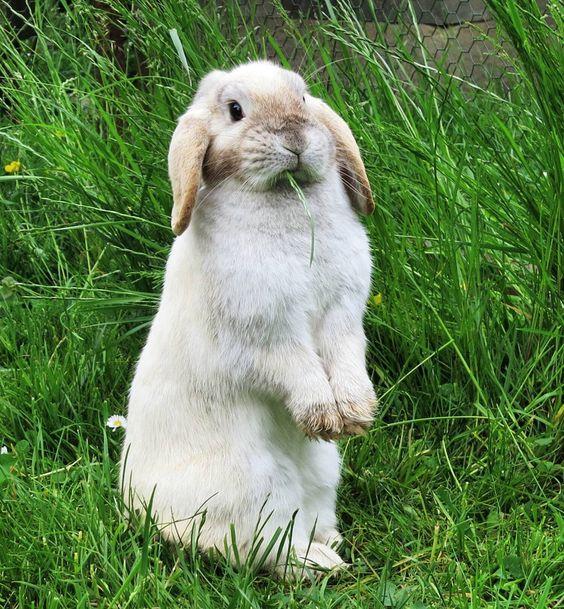 I'm a cowboy chewing on straw and herding cattle.  #bunnyfun#bunnylove#bunnylive#bunny#bunnies#rabbit#rabbits#bunniesofonstagram#rabbitsofinstagram#animals#pet#pets#petsofinstagram#petrabbit#germanbunny#kaninchen#zwergkaninchen#holländer#widder#widderkaninchen#hollandlop#lop#minilop#lopbunny#lopbunnies#siam#cutepet#cutebunny#bunniesworldwide#fabbunnies by die.huepfer