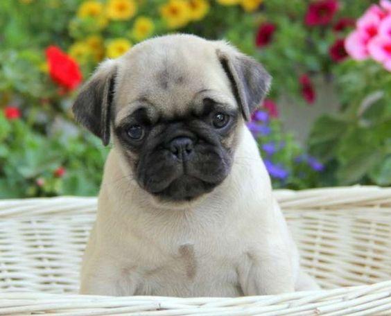 Cute Pug Puppy Cute Pug Puppies Cute Pugs Pug Puppies