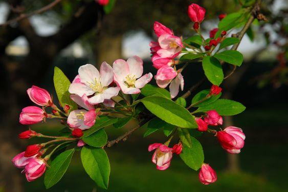 CRAB APPLE #fleursdebach - #bachflowers - #fleurs Racines superficielles, facilement abattu par le vent, ce geste signale la tendance à l'abattement de la personne dans l'état Crab Apple. La fleur de pommier à cinq pétales est d'une blancheur qu'il faut mettre en relation avec la notion de pureté. Elle nous donne à penser qu'elle a la faculté de nettoyer le corps et l'esprit de ce qui nous déplaît en nous-même.