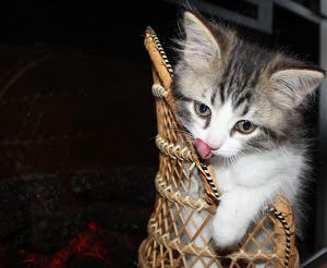 looks good by Elizabeth Sztejner Skillings - guelph, ont my kitten sitting in a little wicker chair Click on the image to enlarge.