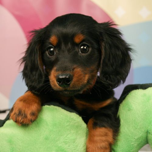 Dachshund Dachshund Puppy Black Dachshund Puppies For Sale Dachshund Puppies