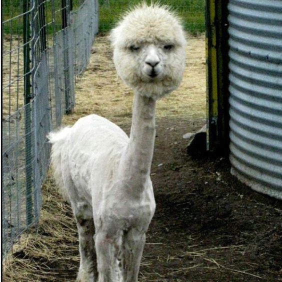 Llamas With Afros not a goat, llama   ha...