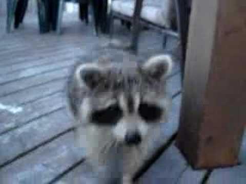 tame Raccoon