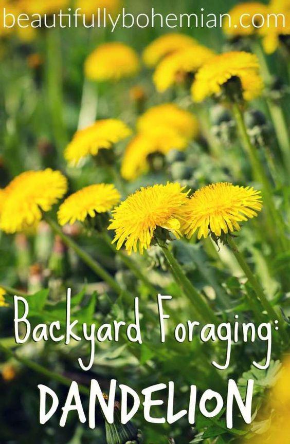 backyard forgaring dandelion_3