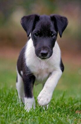... puppies kitties smooth fox terrier puppy terrier dog terrier sweet Smooth Fox Terrier South Africa