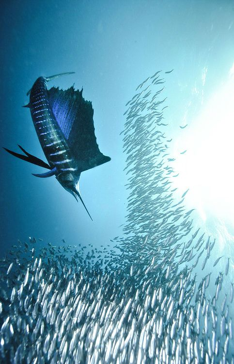 The lines created by the photo are of the marlin and the school of fish. I find it interesting how the photographer used these two groups, the hunter and the hunted to create a great sense of unity. The lines alll seem to move downwards, the marlin seems to converge on the school of fish.