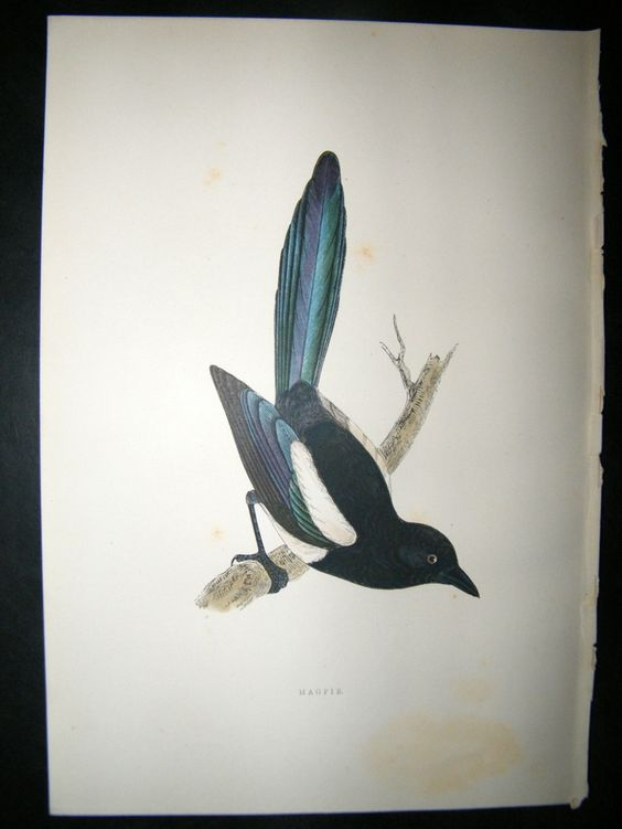 Morris 1891 Antique Bird Print Magpie