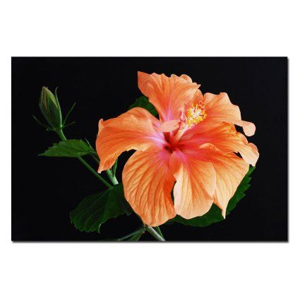 Trademark Fine Art Peach Hibiscus on Black by Kurt Shaffer Canvas Wall Art, 22x32-Inch